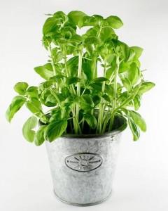 Piantare basilico coltivare basilico coltivare l 39 orto for Coltivare il basilico