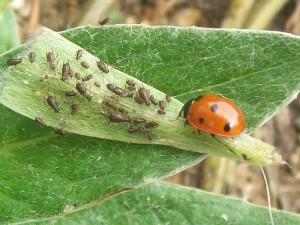 Coccinelle nella lotta biologica contro gli afidi