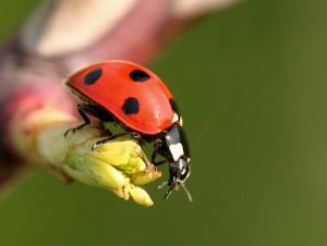 Animali utili nell'orto: coccinella, lucertola, rospo, lombrico e riccio