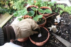 Coltivazione aglio aglio coltivare l 39 orto for Piantare aglio
