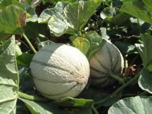 Melone coltivare melone coltivare l 39 orto for Pianta di melone