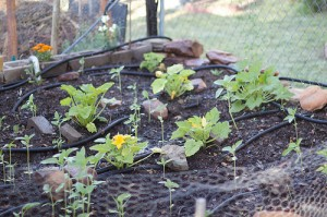 Annaffiare piante coltivare l 39 orto for Piantare piselli