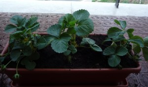 Lavori nell orto trapiantiamo le fragole coltivare l 39 orto for Fragole in vaso