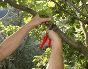 Avere alberi da frutto sani si può! l'importante è scegliere delle