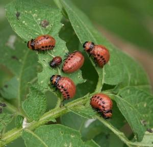 Insetti delle piante Radici piante Coltivare l'orto